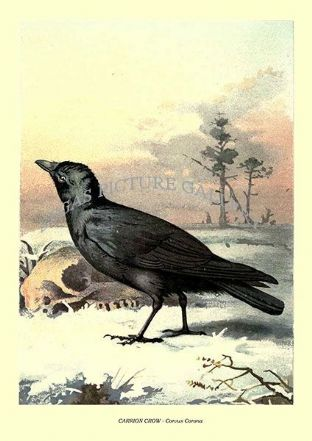 CARRION CROW - Corvus Corona